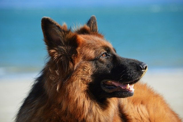Australia's Most Popular Dog Breeds