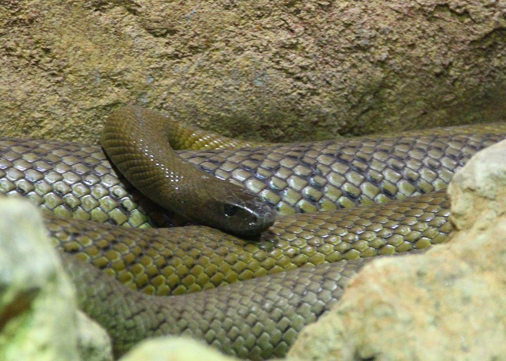 Most venomous snakes in Australia - Inland Taipan